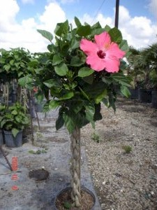 braided hibiscus tree - photo #22